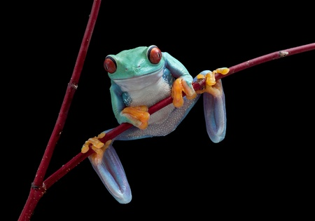 webfoot: A red-eyed tree frog is hanging on to a red vine.
