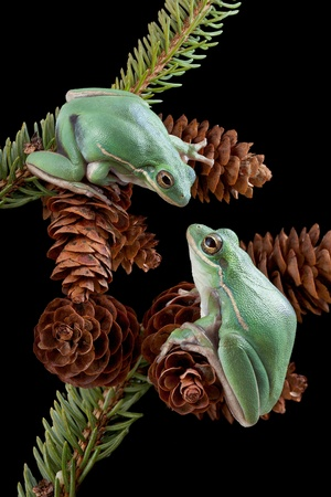 Two green tree frogs are playing on pine cones.