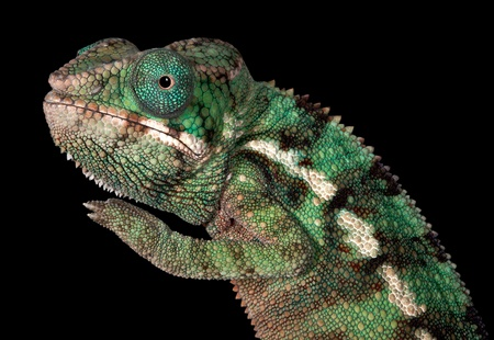 A baby Ambilobe Panther Chameleon is posing for a portrait.