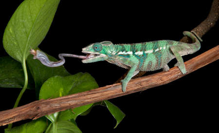 A panther chameleon baby is catching a cricket by extending his tongue.