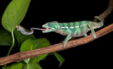 lagartija: Una pantera camale�n beb� est� alcanzando un grillo mediante la ampliaci�n de la lengua.