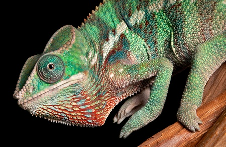 A baby Ambilobe Panther Chameleon is posing for a portrait. Stock Photo - 12323875