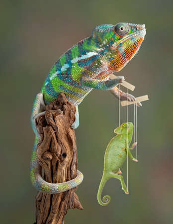 A young ambilobe panther chameleon is playing with a veiled chameleon marionette.