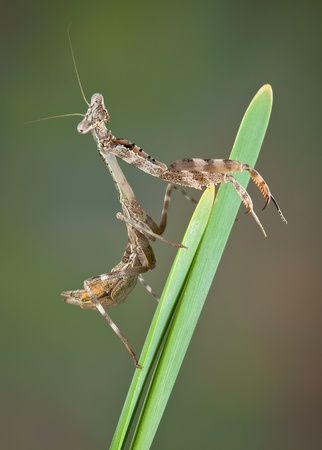 Betty, the budwing mantis is resting on a plant near a pond. Stock Photo - 13069205