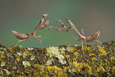 Two dead leaf mantis nymphs are playing with each other. Stock Photo - 13069275