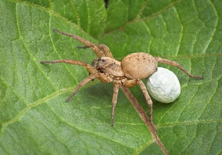 A female wolf spider is carrying an egg case under her body. When the babies hatch, they will crawl on her back.