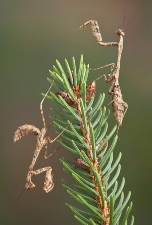 branche pin: Deux morts nymphes mantis feuilles sont perch�s sur une branche de pin.