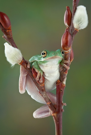 A green tree frog is resting after climbing a pussy willow branch. Stock Photo