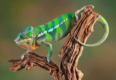 An ambilobe panther chameleon is crawling on some petrified wood.