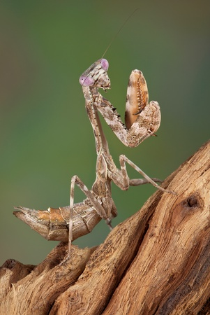 A female budwing mantis nymph is climbing on some weathered wood. Stock Photo - 13307442