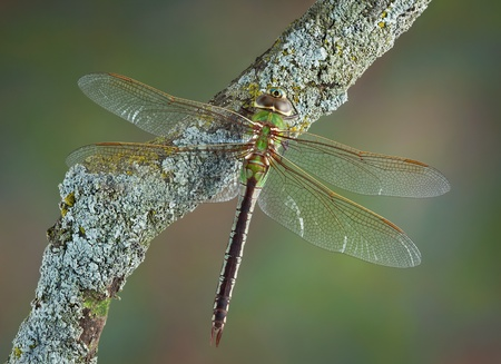 A dragonfly is perched on a branch in early spring. Stock Photo - 13307426