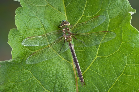 A large green dragonfly is resting on a large leaf in spring. Stock Photo - 13307447