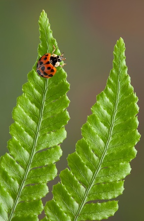 arthropod: A lady bug is crawling on some fern leaves.