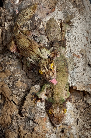 A male and female mossy leaf-tailed gecko seem to blend in to the bark they are sitting on. Stock Photo - 13307449
