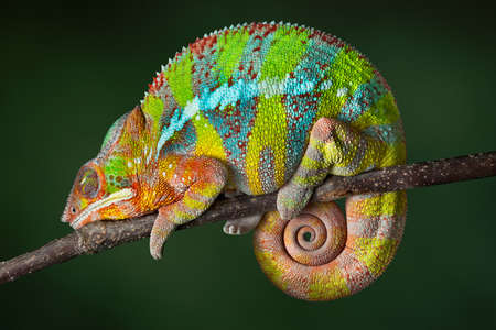 A ambilobe panther chameleon is sleeping on a branch. Stock Photo