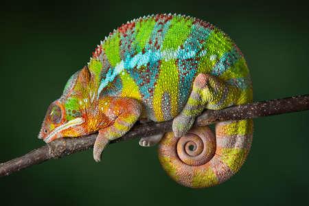 jaszczurka: Ambilobe pantera kameleon śpi na gałęzi.