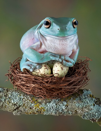 A whites tree frog is sitting on some bird eggs as if they were her own. Stock Photo
