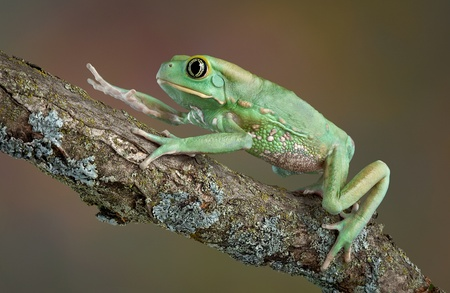 webfoot: A giant waxy monkey tree frog is climbing over a branch.