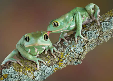 webfoot: One waxy tree frog is licking another who looks surprised. Stock Photo