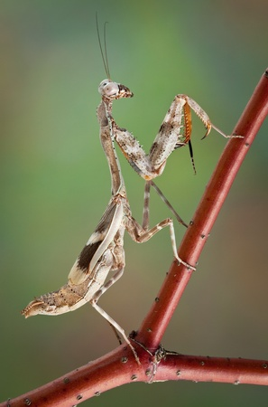 A female budwing mantis is climbing on a red branch. Stock Photo - 13516574