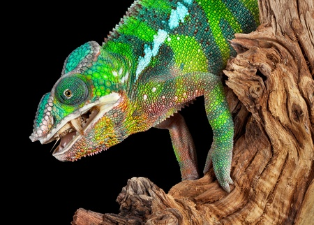 A ambilobe panther chameleon male is eating a cricket he just caught. Stock Photo - 13999956