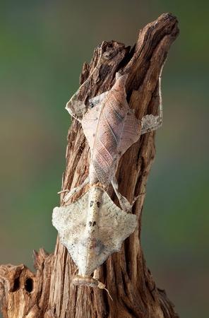 dead leaf: An adult dead leaf mantis female is sitting on some drift wood. Stock Photo