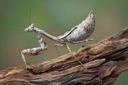 A female budwing mantid's abdomen is full of eggs. Stock Photo - 13999957