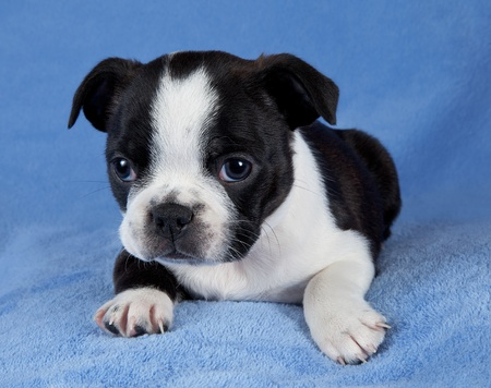 A portrait of a 7 week old female Boston terrier puppy. Stock Photo - 14125044
