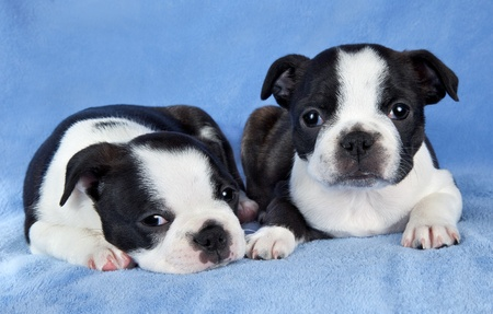 A portrait of two 7 week old female Boston terrier littermates. Stock Photo - 14125045