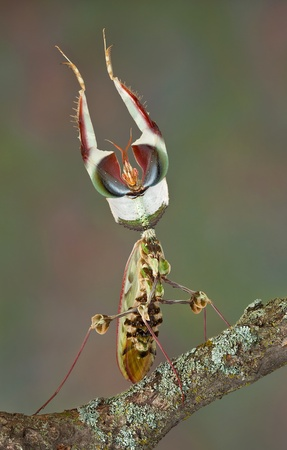 An adult idolomantis male is shown in his threat display. Stock Photo - 14125049