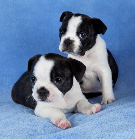 A portrait of two 7 week old female Boston terrier littermates. Stock Photo - 14125047