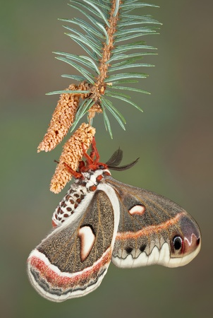 A cecropia moth is hanging from a pine branch. Stock Photo - 14468201