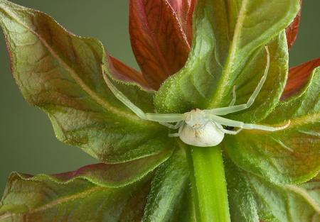 flower crab spider: A crab spider is sitting under a bee balm flower.