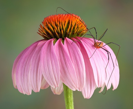 long legs: A daddy long leg spider is climbing on a cone flower. Stock Photo