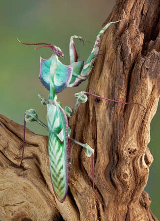 An adult male idolomantis is shown from the back view. Stock Photo - 14468221