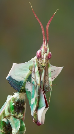 An adult male idolomantis is looking into the camera. Stock Photo - 14468086