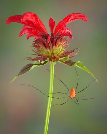 daddy long legs: A daddy long leg spider is hanging from a bee balm flower. Stock Photo