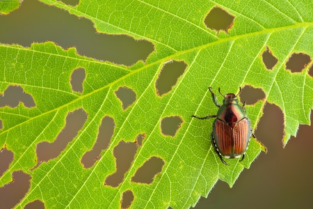 munching: A beetle has eaten many holes in the leaf he is sitting on.
