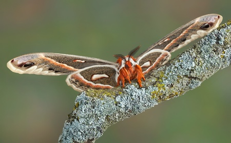 landed: A cecropia moth has landed on branch. Stock Photo