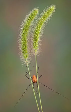 A daddy long leg spider is climbing down two stalks of foxtail grass. Stock Photo - 14755177