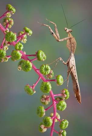 A male dead leaf mantis is pawing the air while sitting on poke weed. Stock Photo - 14755179