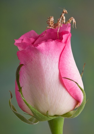 A mantis nymph is sitting on top of a rose bud. Stock Photo - 14755174