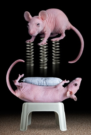 Two dwarf hairless rats are playing a game with springs.