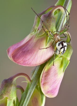 An orb weaver spider is shown climbing on some flower buds. Stock Photo - 14755175