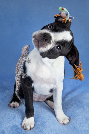 A Boston terrier puppy has a frog, gecko, and tarantula sitting on her. Stock Photo - 15408524