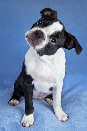 A portrait of a female Boston terrier puppy. Stock Photo