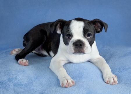 A portrait of a female Boston terrier puppy. Stock Photo - 15408522