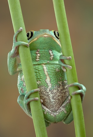 webfoot: A waxy monkey tree frog is holding on to two plant stems.