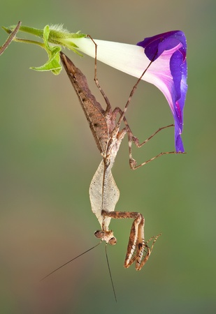 dead leaf: A male dead leaf mantis is hanging from a morning glory.