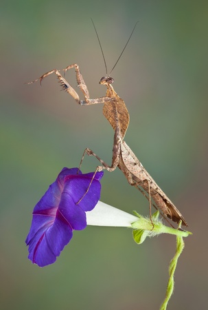 A male dead leaf mantis is sitting on top of a morning glory flower. Stock Photo - 15408517